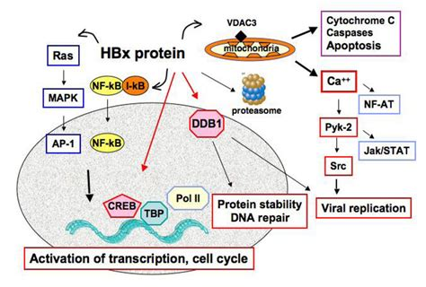 x protein hbv viruses free text liver cell transformation in