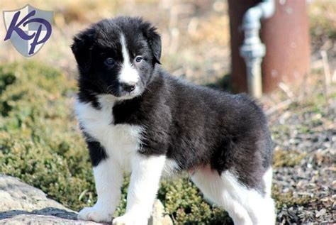 miniature border collie puppies for sale 1000 ideas about miniature border collie on needle felted animals needle