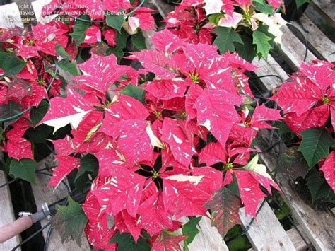 plantfiles pictures euphorbia poinsettia sonora white