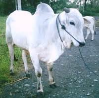 Bibit Sapi Lokal standarisasi bibit sapi pada bisnis pembibitan sapi lokal 171 pangan nusantara