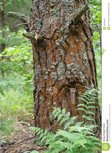 bark like a pine with cracks on the bark like a human in sorrow stock photo image 56274678