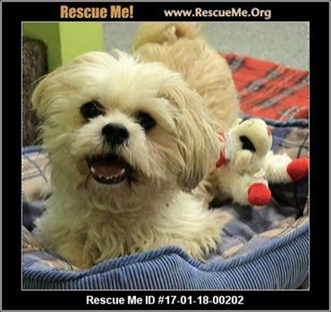 shih tzu rescue indiana indiana shih tzu rescue adoptions rescueme org