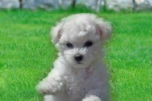 Dogs For Sale In Bichon Frise Dogs For Sale Breeds Picture