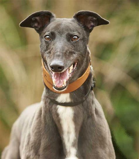 dogs trust sponsor a kara greyhound dogs trust