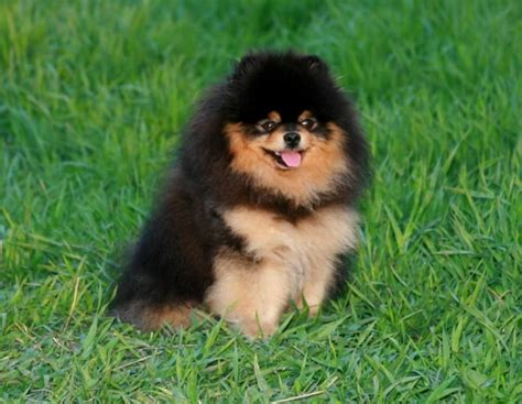 black and brown teacup pomeranian black and brown pomeranian pomeranians tans brown and bears