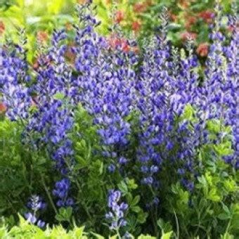 Harga Bibit Daun Kemangi bibit bunga benih herb daun daftar harga