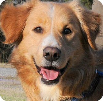 golden retriever collie mix markie our golden boy wow adopted wakefield ri golden retriever collie mix