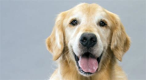 golden retreiver puppy golden retriever breed information american kennel club