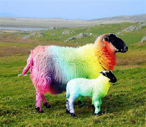 colored sheep dyed lambs pictures awesome dyed sheep on display in