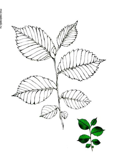 elm leaf coloring page elm tree coloring pages for kids free printable elm tree