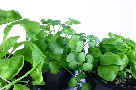 les herbes aromatiques en cuisine les plantes herbes aromatiques en cuisine bienfaits et