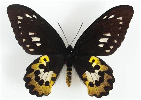 wallpaper cantik kupu kupu 25 gambar kupu kupu wallpaper kupu kupu cantik terindah
