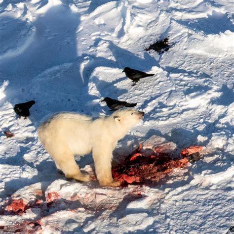 churchill photo of the week churchill polar bears