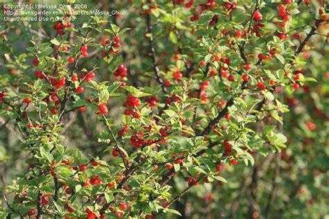 nanking bush cherry prunus tomentosa shrubs that were given to luke s grade class by