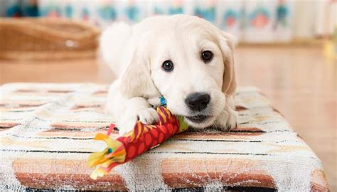 what age can puppies rawhide 3 types of most unsafe toys for puppies top tips