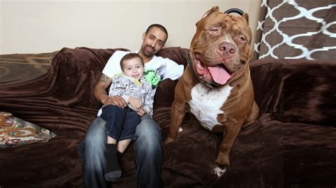 world pit world s largest pit bull quot quot weighs 175 lbs