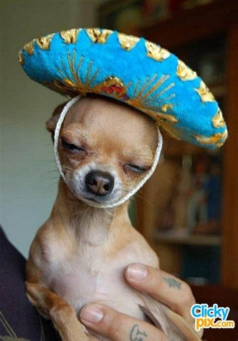 dogs wearing hats sombrero 30 dogs wearing hats because why not