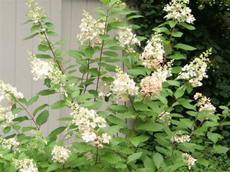 how and when to prune hydrangeas montville ct patch