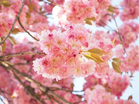 cherry blossoms images free photo cherry blossom japanese cherry free image