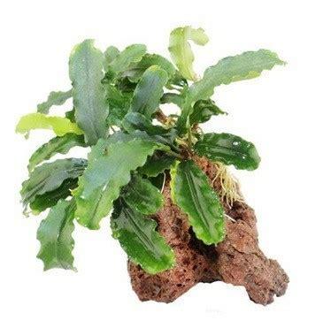 Bucephalandra Kota Batu Tanaman Hias Aquascape jual tanaman bucephalandra buce bibit