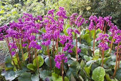 bergenia plant care  growing guide