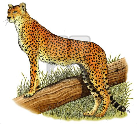 what color is a cheetah cheetah acinonyx jubatus line and color