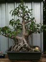 bonsai care manual bonsai tree care