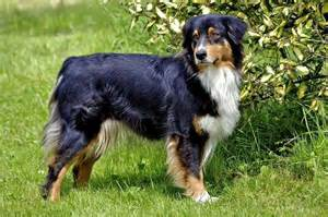 tri colored australian shepherd s 25 tricolor breeds