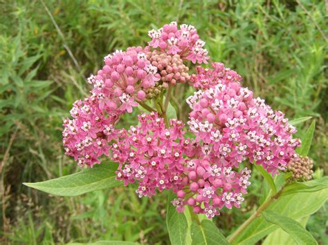 plant insect interaction milkweed and monarch butterflies the life of your time