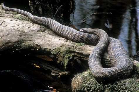 Garden Snake South Carolina by Nerodia Taxispilota Brown Water Snake Dorchester County