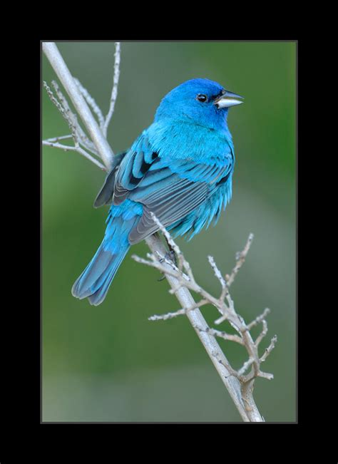 male indigo bunting birds photo 36097921 fanpop