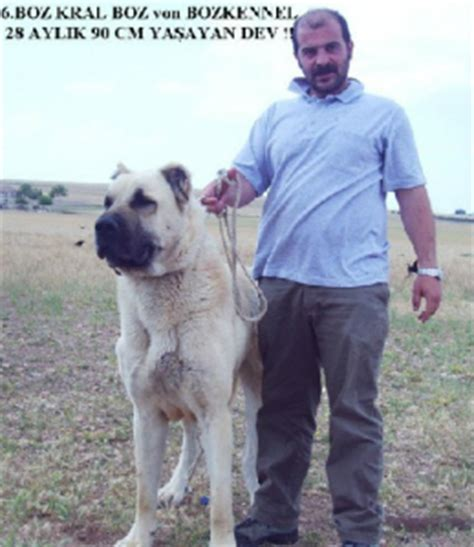 kangal puppies for sale in california boz shepherd for sale breeds picture
