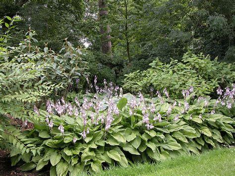 flowering hostas flickr photo sharing
