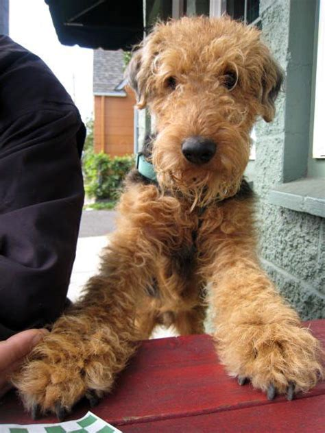 airedale cut 93 best images about airedale terriers on pinterest