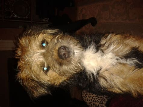 shih tzu x border terrier border terrier x shih tzu hartlepool county durham pets4homes