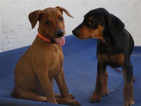 german pinscher puppies for sale german pinscher for sale by alii shores german pinscher and newfoundlands american