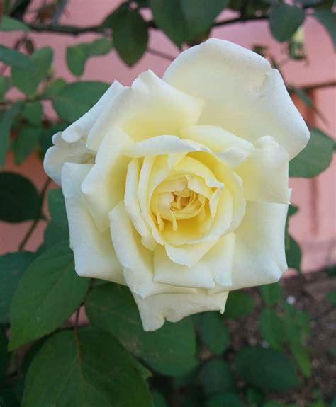 imagenes de flores rosas blancas fotos de flores de rosas blancas