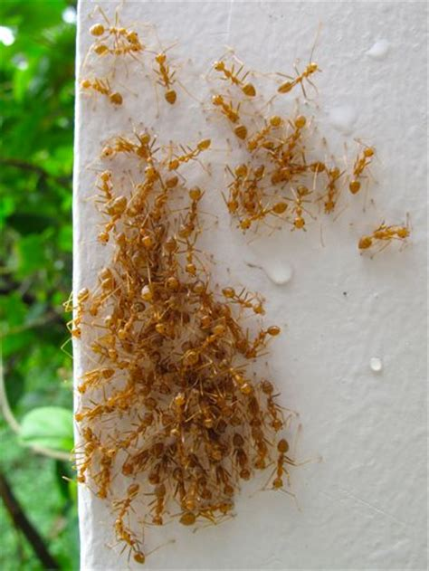 small red ants in bathroom small red ants in my house universalcouncil info