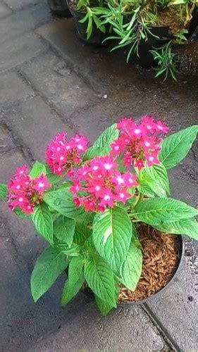 jual tanaman pentas red compact bibitbungacom