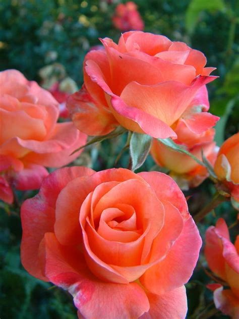 rose can bonfire floribundas old garden roses rose catalog