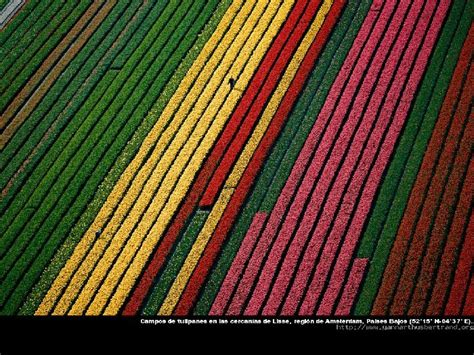 netherlands tulip fields map tulips fields in from above