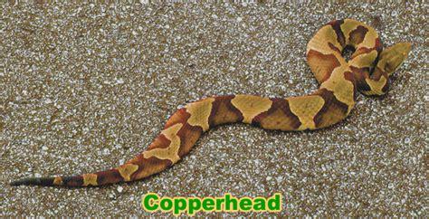 Garter Snake Vs Copperhead Snake Id Not Really I Got This One Page 2 Texags