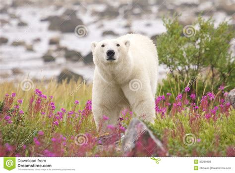polar and fireweed 1 stock photo image of danger 33289108