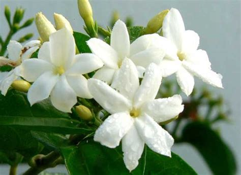 Bibit Bunga Melati Di Makassar cara agar tanaman melati berbunga banyak