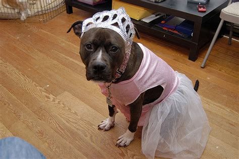 sweaters for pitbulls clothing isn t just for dogs pit bull owners dress their dogs up