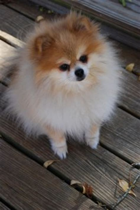 do pomeranians bark a lot pomeranians your pets universe your pets universe