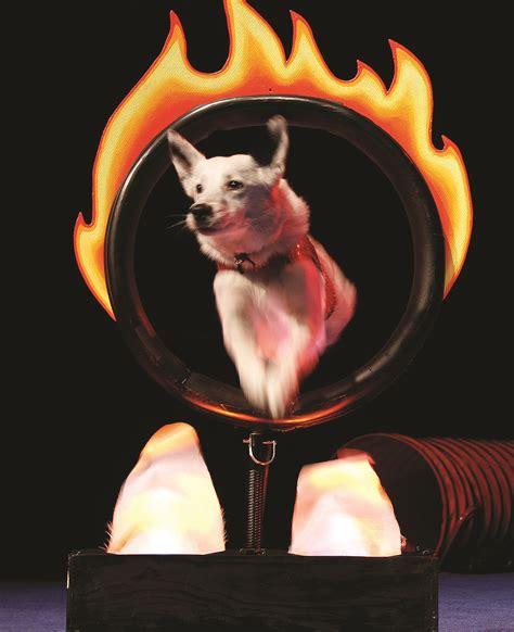 stunt puppy stunt dogs arrive at olympia s washington center on january 19 thurstontalk