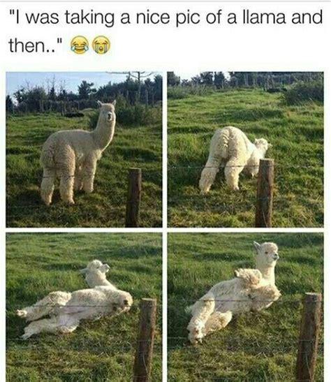 Alpaca Sheep Meme - 25 best ideas about alpaca funny on pinterest funny