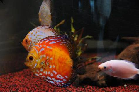 Microphagous Feeders how to feed gourami pets