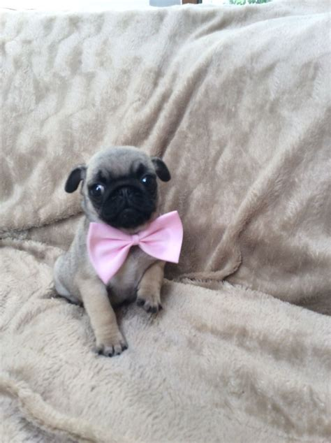 sheffield pugs beautiful pug puppies sheffield south pets4homes
